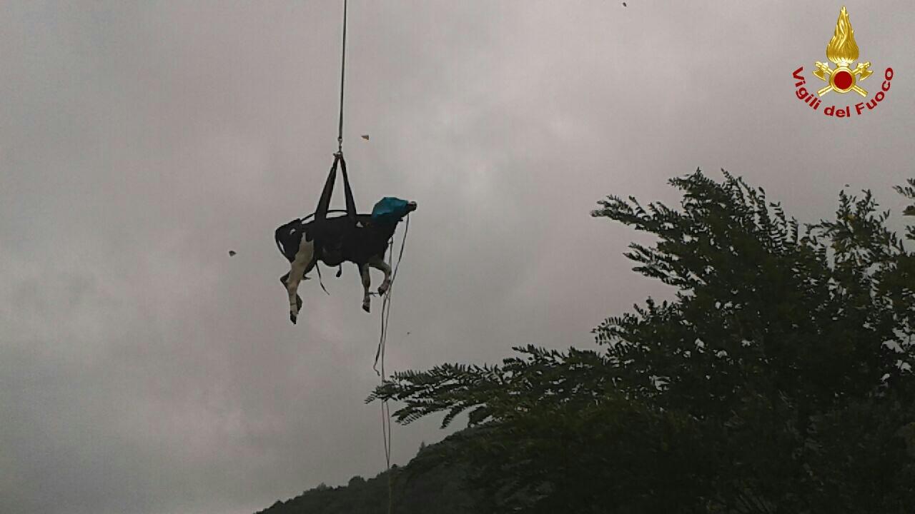 Elicottero Animale : Valdastico mucca vola nella scarpata domani il recupero