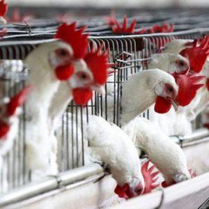 aviaria-galline