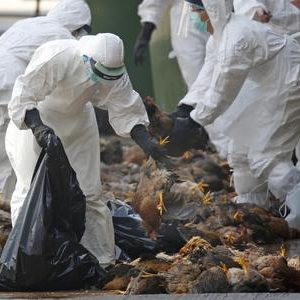 FILE - In this Wednesday, Dec. 31, 2014 file photo, health workers in full protective gear collect dead chickens killed by using carbon dioxide,  after bird flu was found in some birds at a wholesale poultry market in Hong Kong. ?The World Health Organization says it has noticed mutations in the bird flu virus that is now spreading in China, but says the risk of the disease spreading easily between people still remains low. In a press briefing Wednesday, March 1, 2017, the U.N. health agency said in about 7 percent of the people infected with the H7N9 strain of bird flu, scientists have identified genetic changes suggesting the viruses are resistant to Tamiflu, the recommended treatment for the disease.?(ANSA/AP Photo/Kin Cheung, file) [CopyrightNotice: Copyright 2017 The Associated Press. All rights reserved.]
