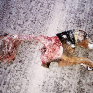 cane sbranato asiago