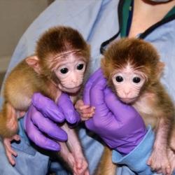 scimmie dieselgate