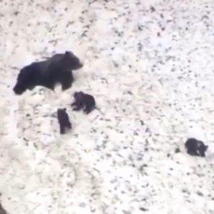 orsa partorisce tre cuccioli, Veneto
